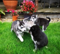 Siberian Husky Puppies Looking For New Home